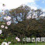 吉高の大桜 - 印旛沼観光 Vol.4 –