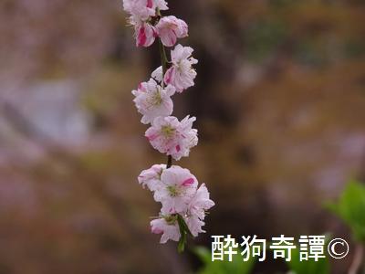 松戸・本土寺の桜 in 2013