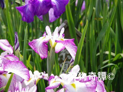 あやめ祭り(水郷佐原 水生植物園)