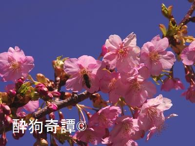 松戸・河津桜