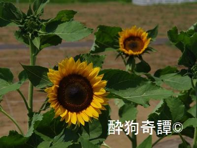 向日葵と風車(佐倉ふるさと広場)