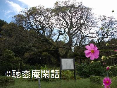 吉高の大桜 - 印旛沼観光 Vol.4 -