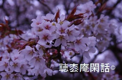 吉高大桜の鑑賞