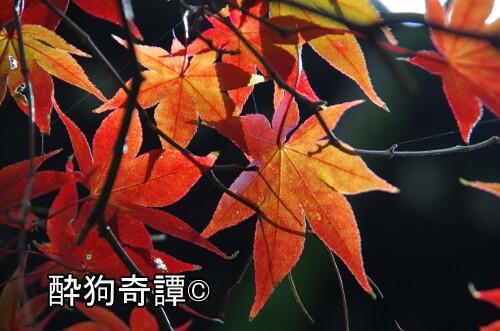 本土寺,紅葉,2016